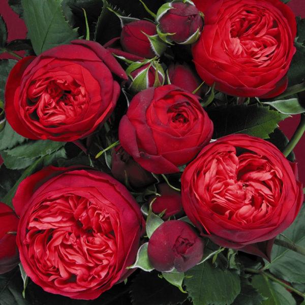 Саженец розы Ред пиано фото