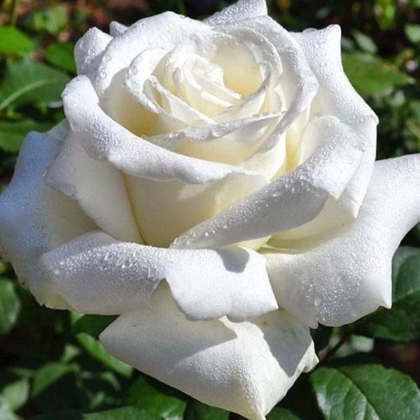 Саженец розы Ломоносов фото