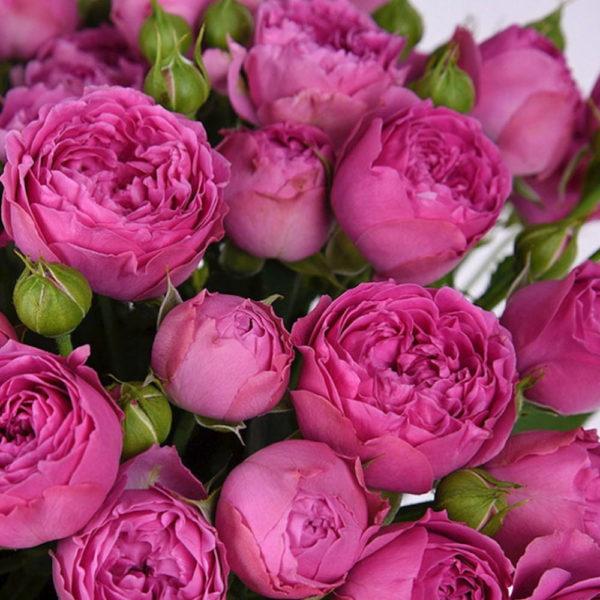 Саженец розы Мисти Баблс фото