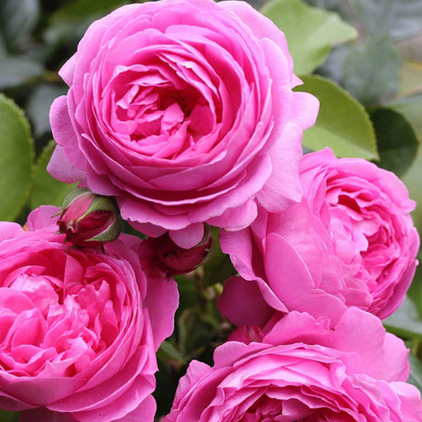 Саженец розы Фрай Фрау фото