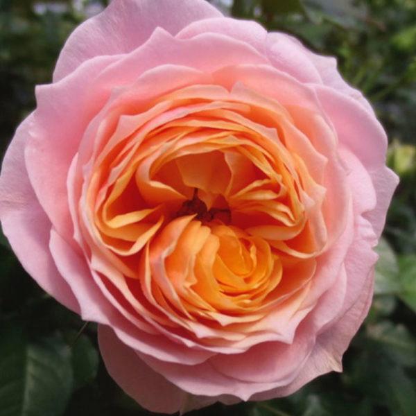Саженец розы Вувузела фото