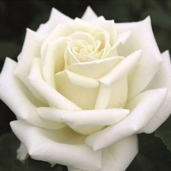Саженец розы Магади фото