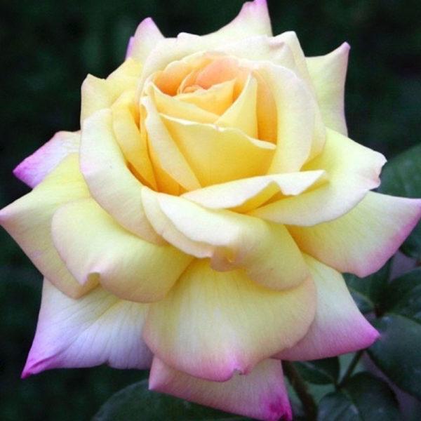 Саженец розы Глория Дей фото
