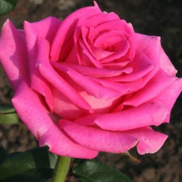 Саженец розы Топаз фото