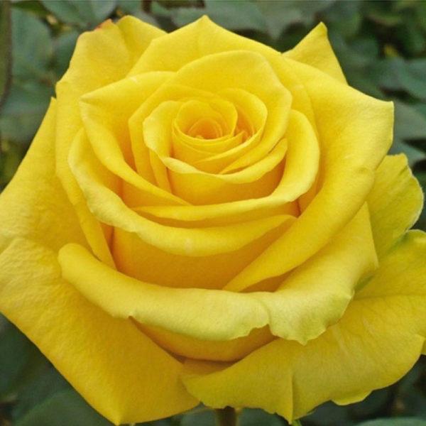 Саженец розы Керио фото