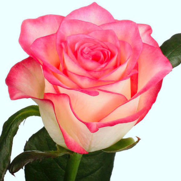 Саженец розы Джумилия фото