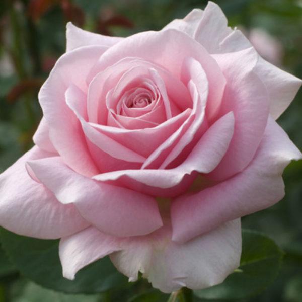 Саженец розы Розовая жемчужина фото