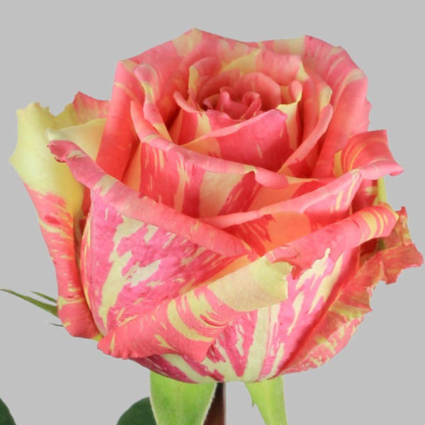 Саженец розы Фиеста фото
