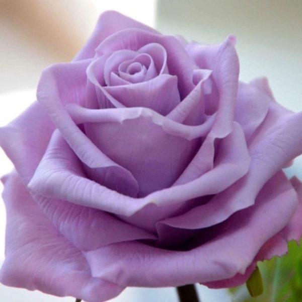 Саженец розы Блу Парфюм фото