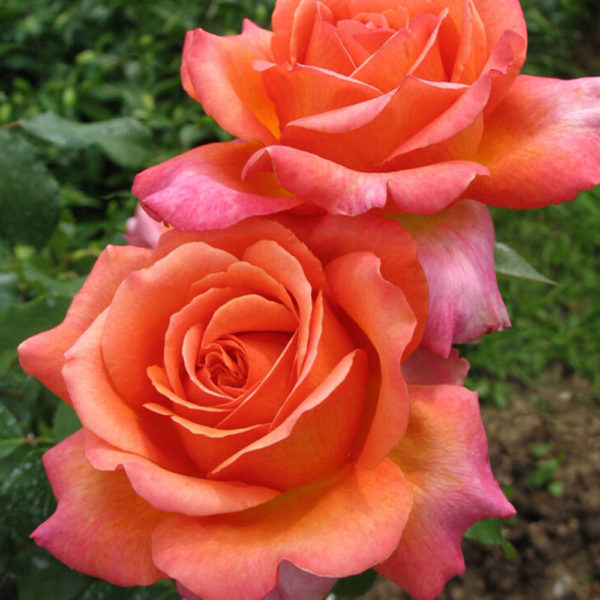 Саженец розы Рене Госсини фото