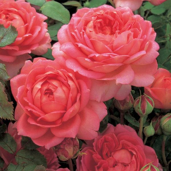 Саженец розы Джубиле Селебрейшн фото