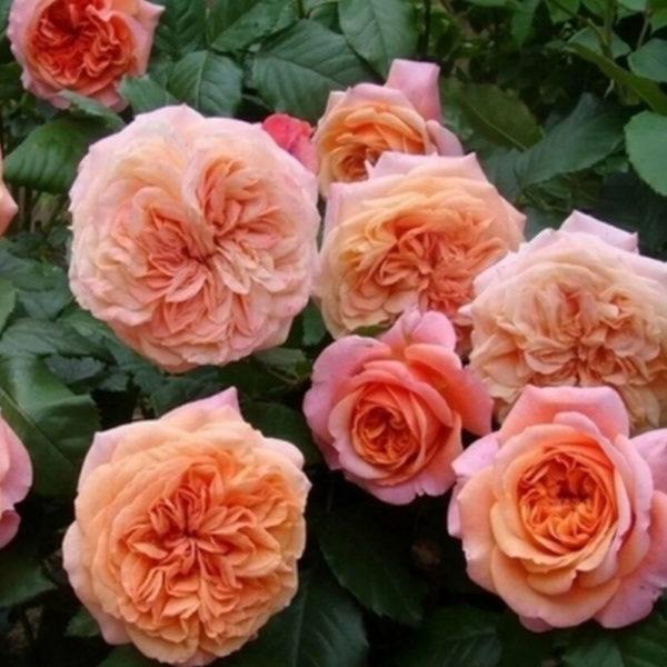Саженец розы Папи Дельбар фото