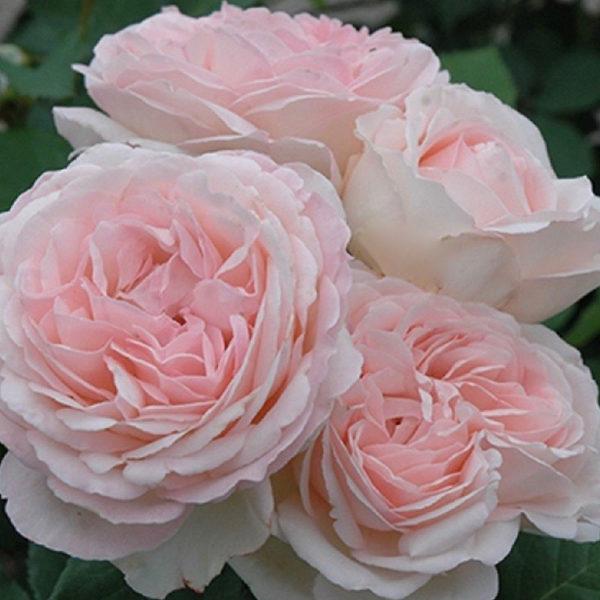 Саженец розы Клер Роуз фото