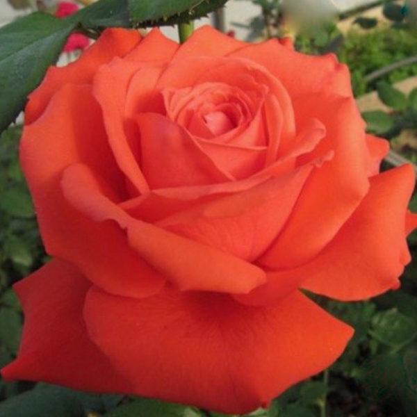 Саженец розы Спутник фото