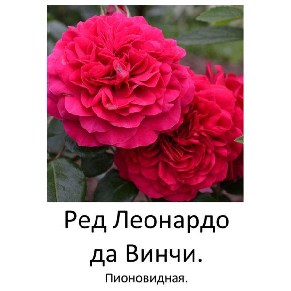 Саженец розы Леонардо Да Винчи фото