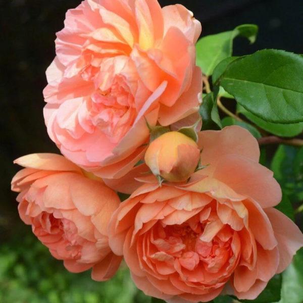 Саженец розы Пэт фото