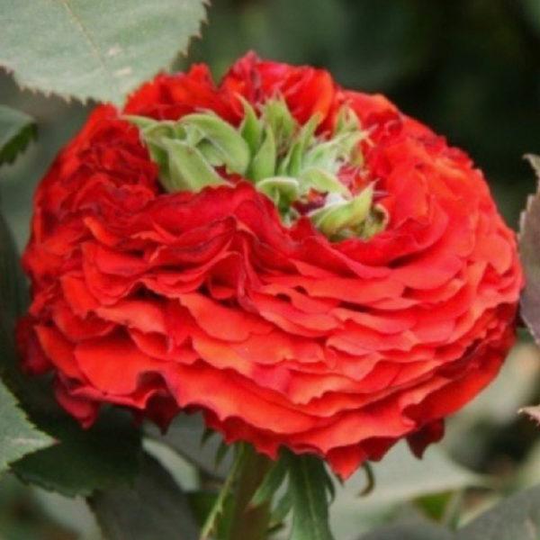 Саженец розы Ред Ай фото