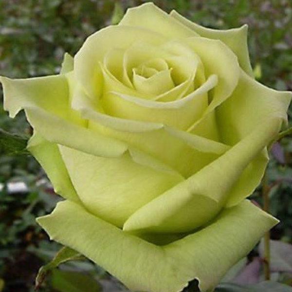 Саженец розы Доллар фото