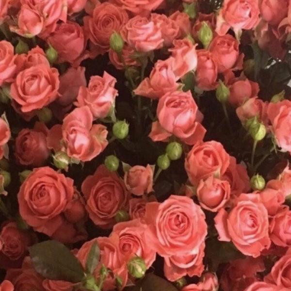 Саженец розы Барбадос фото