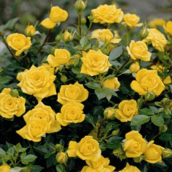 Саженец розы Сан Сити фото