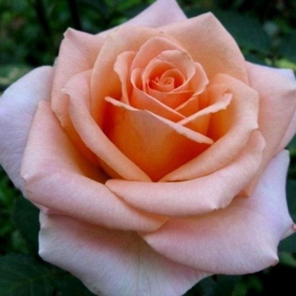 Саженец розы Гейша фото