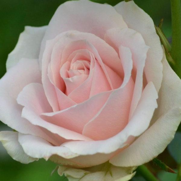 Саженец розы Ля Перла фото