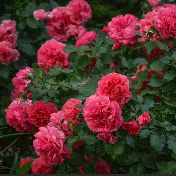 Саженец розы Антика фото