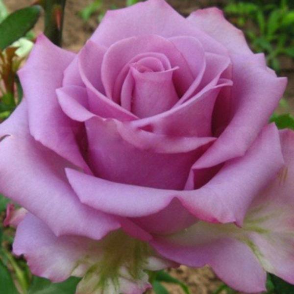 Саженец розы Дип вотер фото