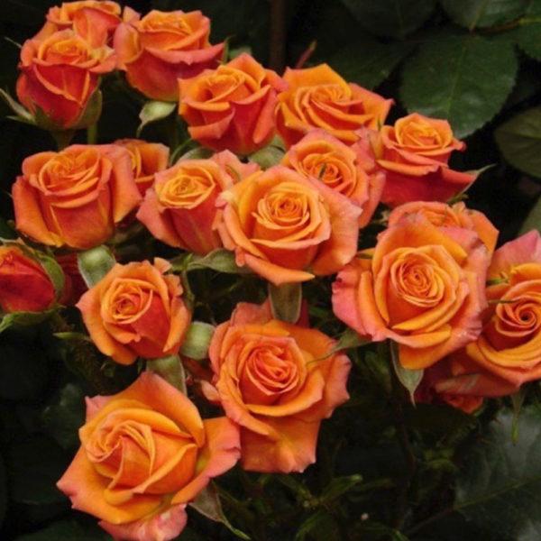 Саженец розы Оранж бейби фото