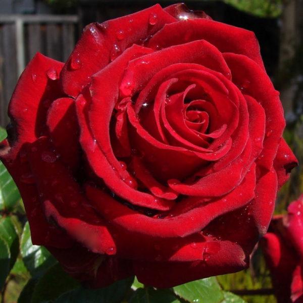 Саженец розы Эксплорер фото