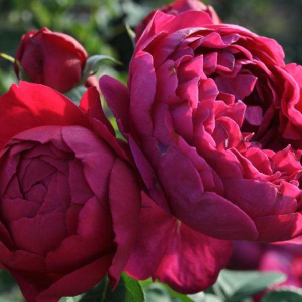 Саженец розы Аскот фото