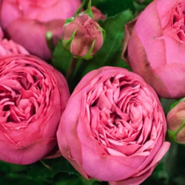 Саженец розы Пинк Пиано фото