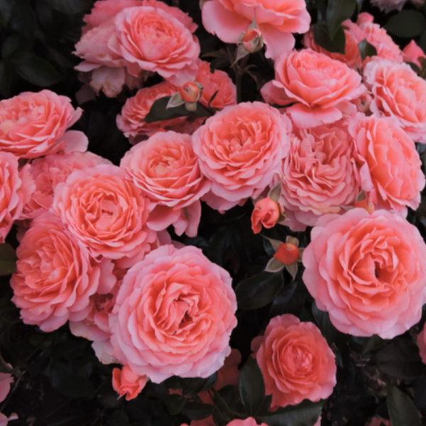 Саженец розы Мон Амур фото