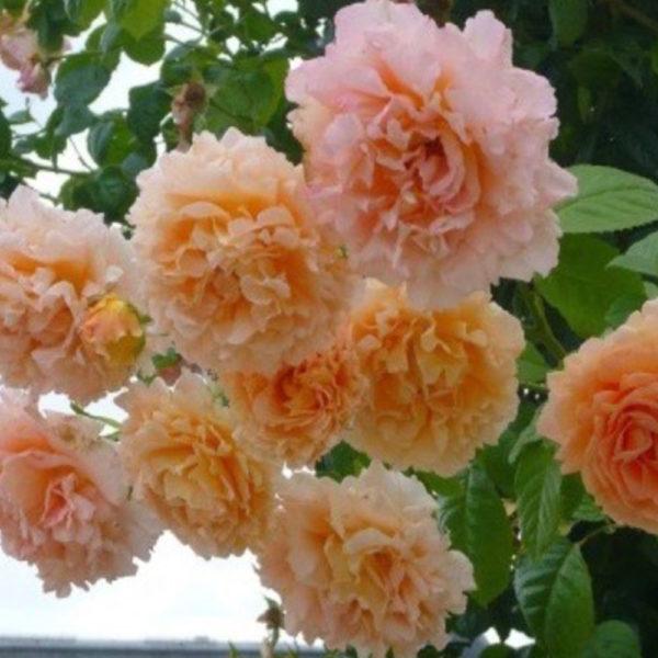 Саженец розы Полька фото