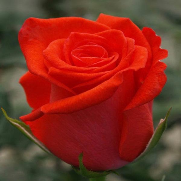 Саженец розы Золотая жемчужина фото