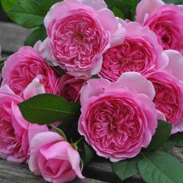 Саженец розы Помпадур фото