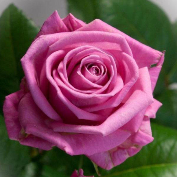 Саженец розы Аква фото