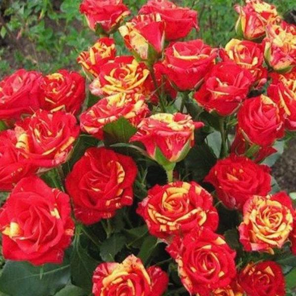 Саженец розы Фаер флеш фото