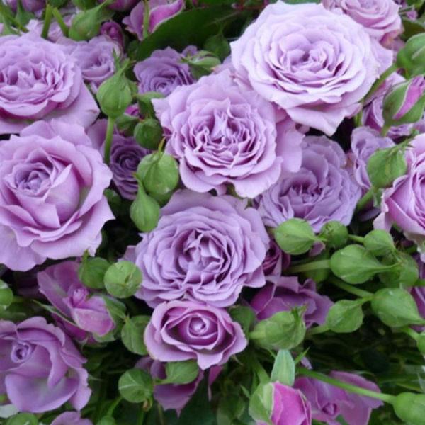 Саженец розы Санта Барбара фото